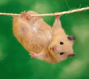 观察仓鼠是否得病的小技巧